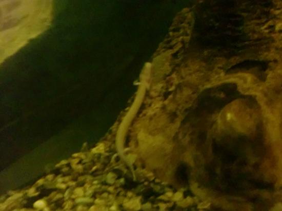 Human Fish Postojna Caves Slovenia