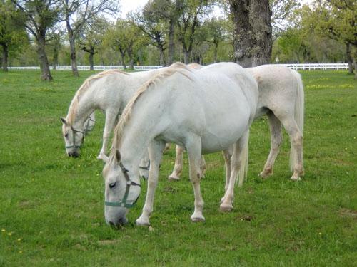 White horses at Lipica Stud Farm, Slovenia