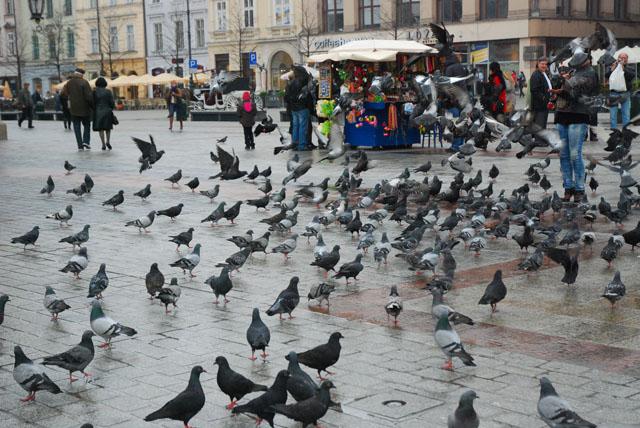 Pigeons in Krakow Market Square, Poland