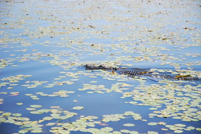 Alligator in Myakka River State Park, Florida