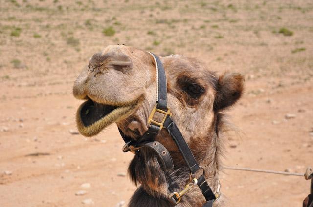 Negev Desert Camel Sfinat Hamidbar