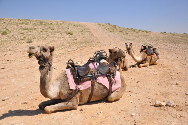 Negev Desert Camels, Israel