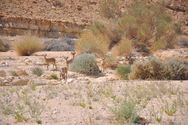 Nubian Ibex Makhtesh Ramon