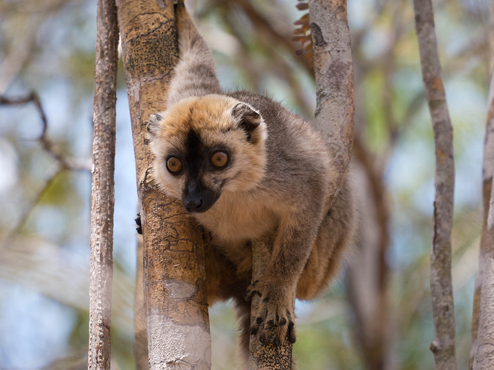 Brown Lemur Kirindy