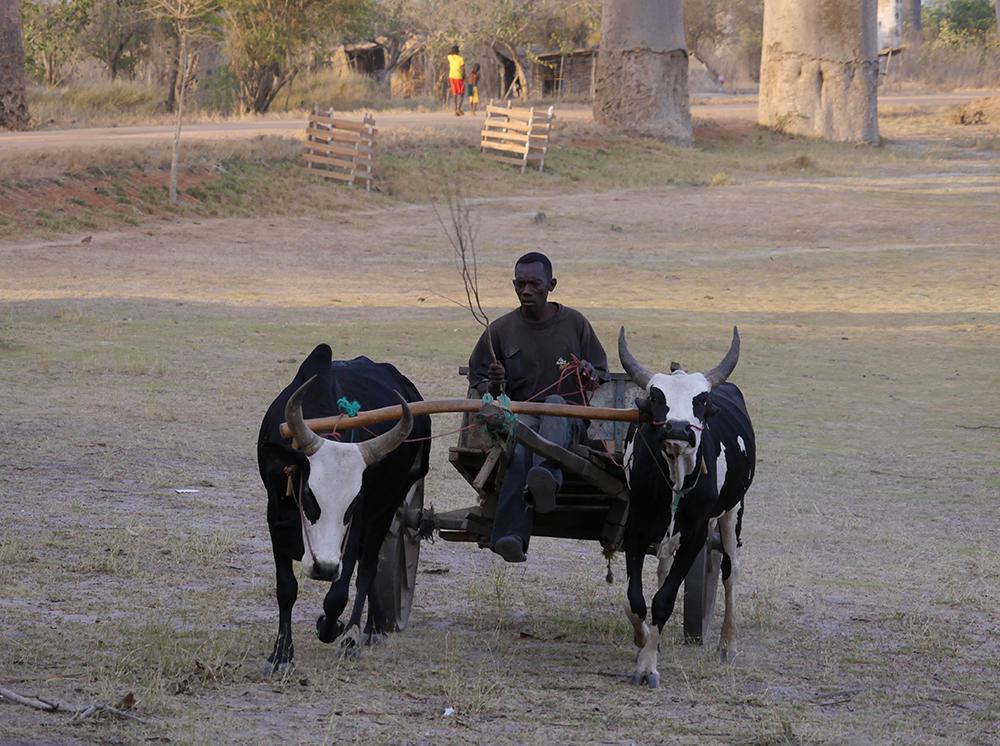 Cattle Madagascar