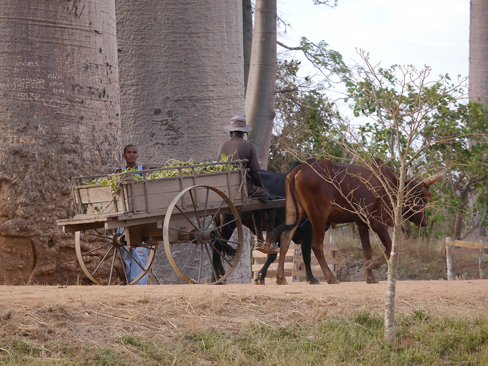 Cattle and Cart Madagascar
