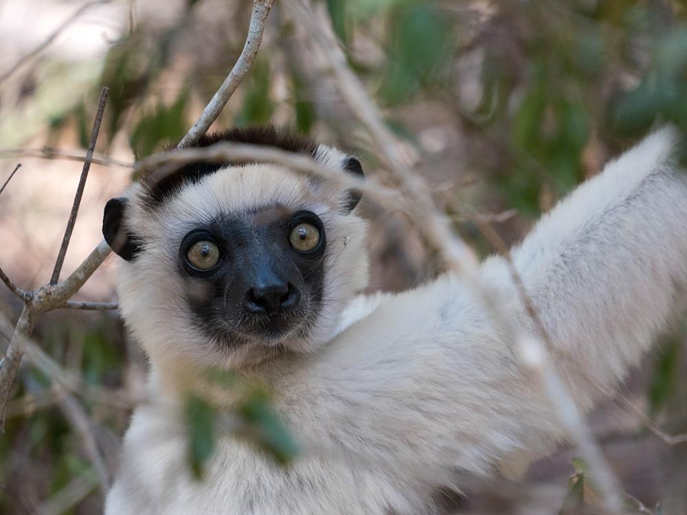 Sifaka Dancing Lemur Kirindy Reserve
