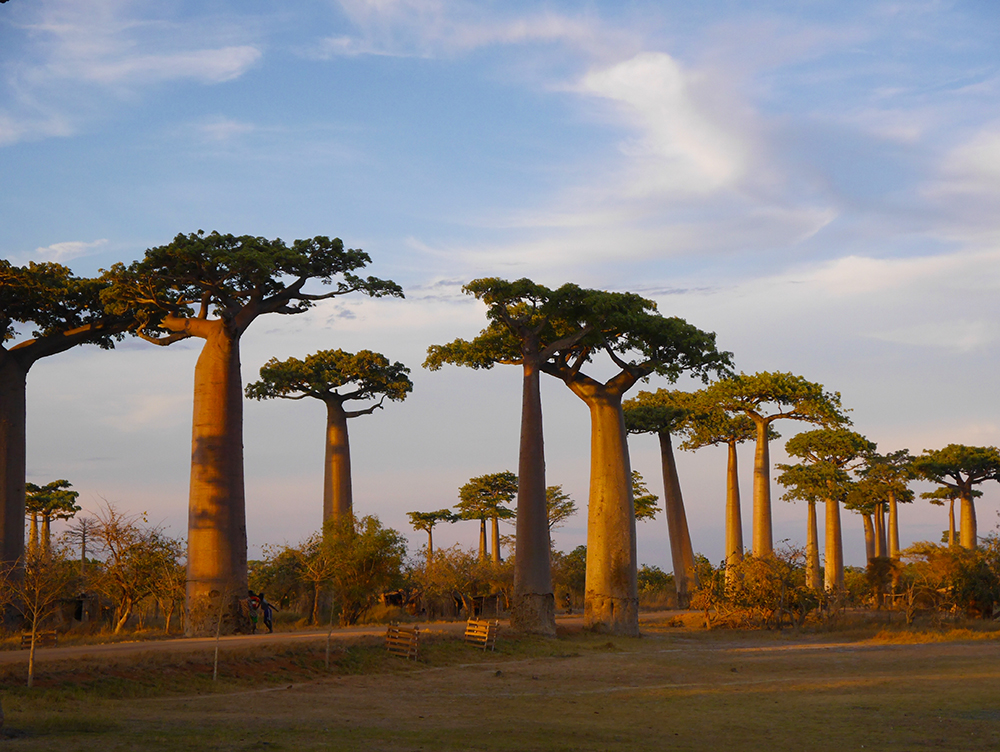 Sunset at Avenue of the Baobabs