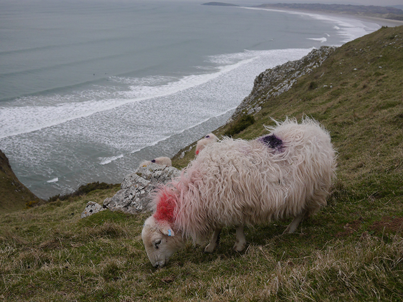 Welsh Sheep, Gower, Wales