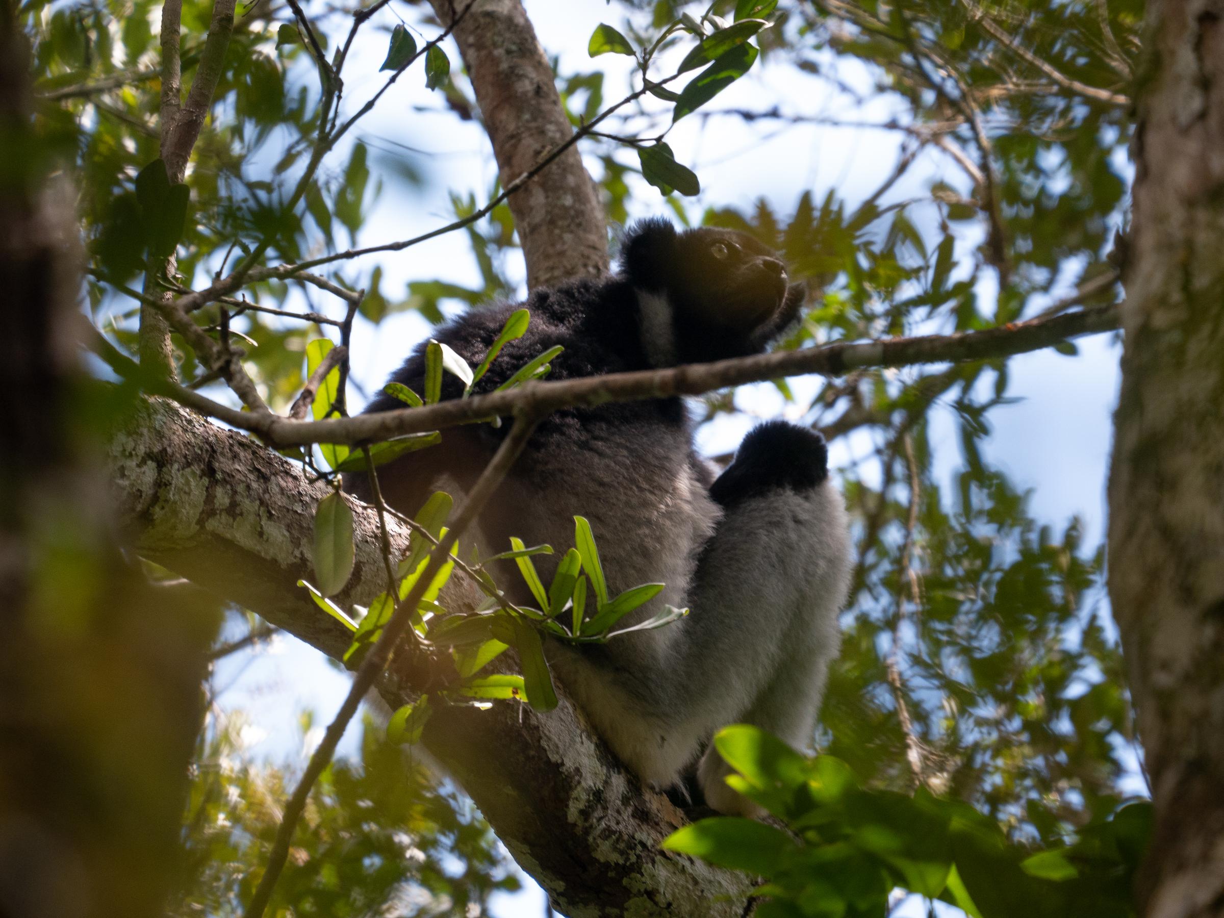 Indri-Indri Lemur Madagascar